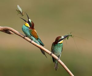 APS Merit - Bee Eaters with Grashoppers by Lajos Nagy EFIAPp MPSA MAAFR