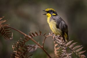 PSQ HM - Endangered Honeyeater by Kim Wormald