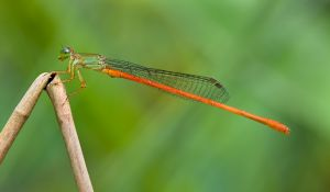 PSQ HM - Redtail Damselfly by Jacqueline Hammer EFIAPs GMAPS