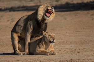 QIDC HM - Lions Mating 5 by Willem Kruger