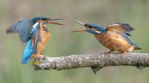 QIDC HM - New Kingfisher Couple by Stephan Salberter