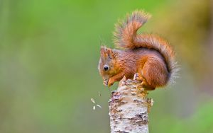 QIDC HM - Squirrel Eating from Birch by Henrik Kristensen AFIAP