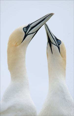 FIAP Silver - The Original Gannets in Love by Bill Power FIPF AFIAP