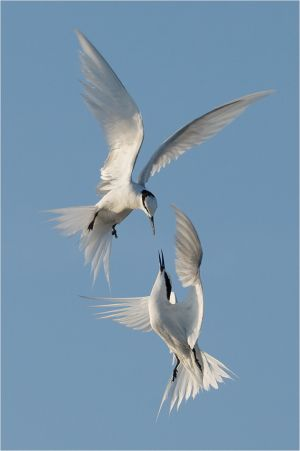 PSQ HM - Fighting Terns 2 by Eng Siong Yeo ARPS