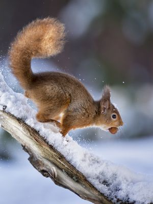 PSQ HM - Red Sqirrel with Nut by Bill Terrance EFIAPb DPAGB