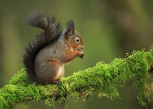 UPI Silver - Red Squirrel Feeding by Bob Devine ARPS EFIAPb EPSA DPAGB