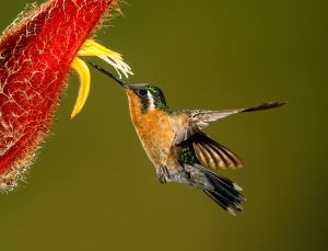 UPI HM - Little Hermit on Heliconia by Kerry Boytell EFIAP