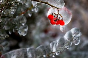 QIDC HM - Berries in Ice by Frankie Chan