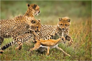 PSA Nature Wildlife Medal for Best Wildlife (W) - Hunting Cheetahs by Eng Siong Yeo ARPS