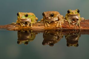 QIDC Salon Silver - Peacock Tree Frog Trio by Jon Sellers EFIAP DPAGB BPE5
