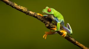 FIAP HM Red Eyed Green Tree Frog Climbing by Robert Millin EFIAPs EPSA
