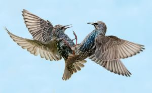 UPI HM - Starlings 2 by Charles Akerstrom LRPS BPE2