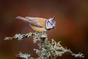 APS Merit - Crested Tit Calling by Chris Morton