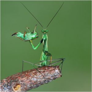 QIDC HM - Mantis Portrait by Marc Anagnostidis APSA GMPSAb EFIAP