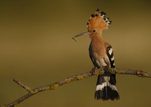 FIAP HM Hoopoe Has Caterpillar by Bob Devine MPSA EFIAPs