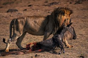 FIAP Gold Lion and Kill No10 by Roger Jourdain