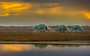 PSA Nature Division Silver Medal for best Wildlife (W) Polar Bear Family Running to Safety 1 by Francis King EPSA