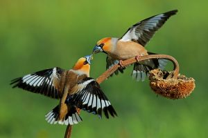 APS Merit Hawfinches Fighting 8677 by Paul Keene EFIAPp MFIAP