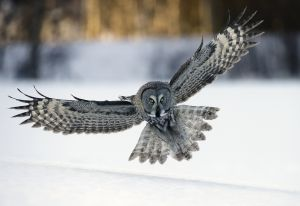 PSQ HM Great Grey Owl Lands at Dusk by Bob Devine MPSA EFIAPs