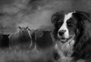 PSA Silver The Sheepdog by Alan Young FRPS EFIAP DPAGB BPE3