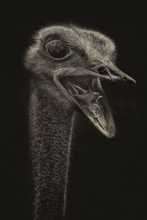 PSQ HM Ostrich at Large by Dianne English AFIAP