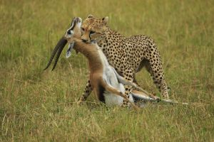 PSA Nature Division Silver Medal for best Wildlife (W) Cheetah Moves Kill by Bob Devine MPSA EFIAPs