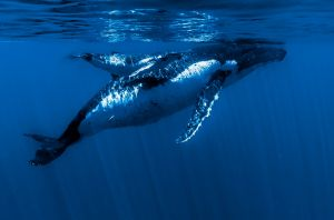 FIAP HM Humpback and Calf by Anne Russell AFIAP LRPS
