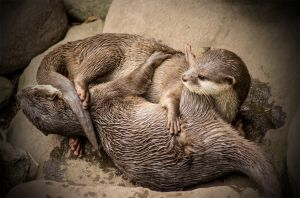 QIDC HM Otter Love by Dennis Wetherley LAPS