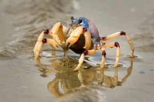 QIDC HM Soldier Crab by Eligia Sword