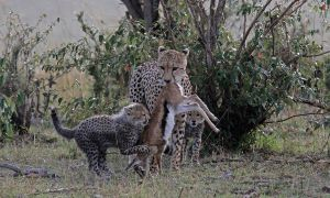 PSQ HM Young Cheetahs Waiting for Food by Wolfgang Kaeding EFIAP GMPSA
