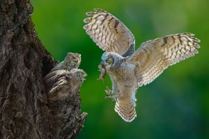 FIAP Gold Owl Feeding by Chau Kei Checky Lam