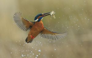 APS Merit Kingfisher Caught Fish by Bob Devine MPSA EFIAPs