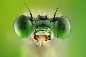PSA Gold (BOS) Green the Demselfly by MISHAL ALRYHAN AFIAP G.P.UCR2