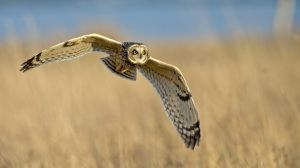 QIDC Salon Silver Short-Eared Owl Hunting by David Wolfenden