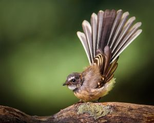 QIDC Bronze (Judges Choice) Juvenile Fantail by Kim Wormald FAPS EFIAP