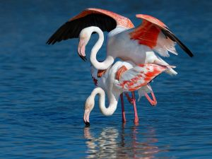 APS Merit Mating Pink Flamingos 2015 by Roger Jourdain