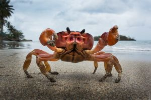 PSQ HM Grost Crab by Malcolm Cook EFIAPb