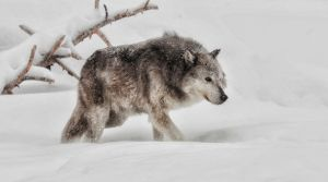 PSQ HM Wolf in Snow by Judy Burr APSA PPSA